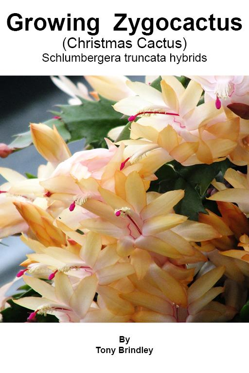 Learn how to grow Schlumbergera also known as Zygocactus,  Thanksgiving Cactus, Holiday Cactus and Christmas Cactus