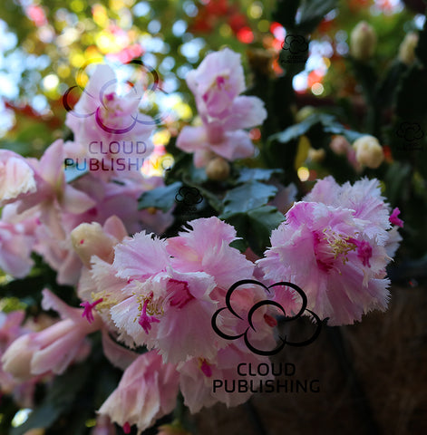 Schlumbergera variety Aspen flower cluster with frilly flowers