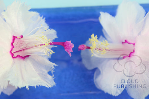 Zygocactus Aspen with frilly petals compared to Bridgeport with rounded petals. Both belong to the Schlumbergera family.