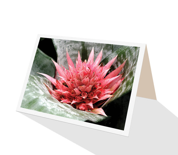 Flower greeting card of pink flowering bromeliad aechmea fasciata published by Cloud Publishing