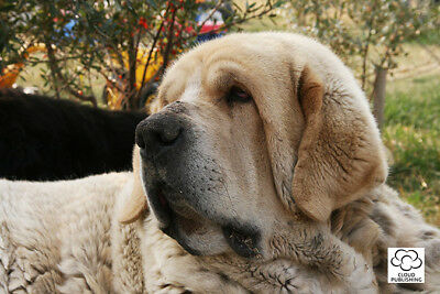 Greeting card of a lovable Spanish Mastiff dog from Cloud Publishing