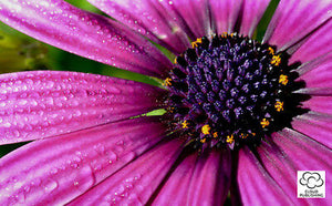 Greeting card of a purple African Daisy flower from Cloud Publishing
