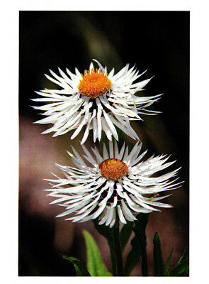 Greeting card white paper daisies Helichrysum by Julie Blamire
