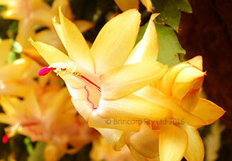 Gold Fantasy greeting card of gold colored zygocactus flowers published by Cloud Publishing.  Also known as Thanksgiving cactus