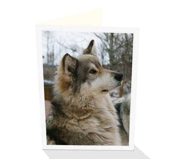 Greeting card of an attentive Wolf by photographer Ashlee Brindley and Cloud Publishing