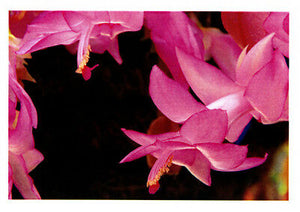 Greeting card of hanging Millennium Fantasy zygocactus with beautiful purple cerise coloured flowers by photographer Tony brindley and published bu Cloud Publishing