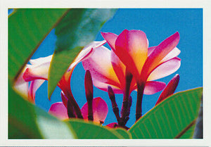 Greeting card of the tropical frangipani with pink yellow and white flowers from the underside looking upwards through leaves into the blue sky by photographer Tony brindley and published by Cloud Publishing