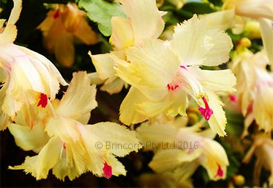 Zygocactus Chelsea greeting card from Cloud Publishing. Frilly flowering yellow variety also known as schlumbergera, Thanksgiving cactus and Christmas Cactus.