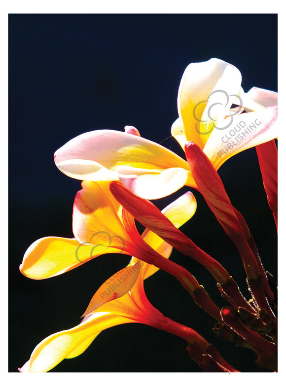 A greeting card with three white frangipani flowers with yellow centres and buds shown in afternoon light published by Cloud Publishing