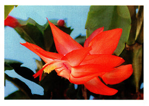 Christmas cactus greeting card of Zygocactus variety Sunburst Fantasy from Cloud Publishing