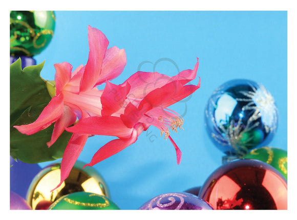 Christmas card of zygocactus flower and baubles from Cloud Publishing