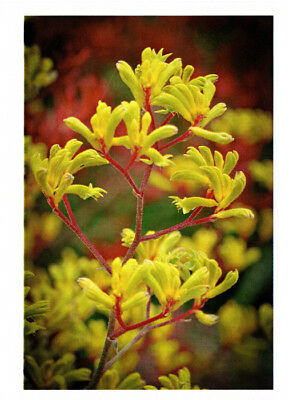 Greeting card of the beautiful yellow Kangaroo Paw flower stem published by Cloud Publishing