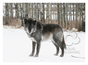Greeting card Canadian black wolf by Ashlee Brindley from Cloud Publishing