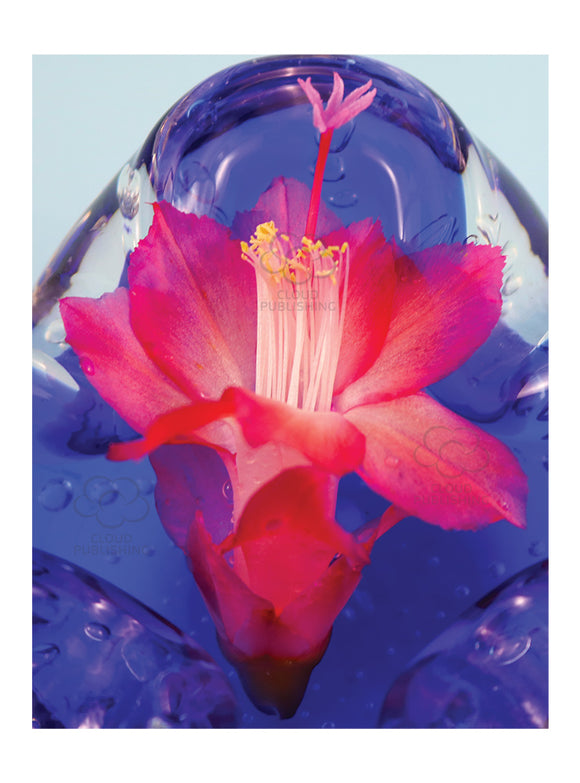 Christmas cactus greeting card of red flowering zygocactus variety Ascot on blue glass from Cloud Publishing