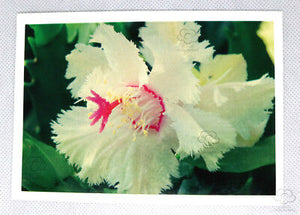 Aspen Zygocactus Greeting Card. The world's first frilly edged zygocactus flower published by Cloud Publishing