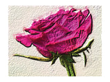 Greeting card of a hot pink smoking pink rose from Cloud Publishing