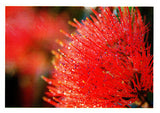 Greeting card of a red callistemon flower close up by photographer Julie Blamire