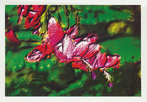 Christmas cactus greeting card of variety Strawberry Fantasy from Cloud Publishing