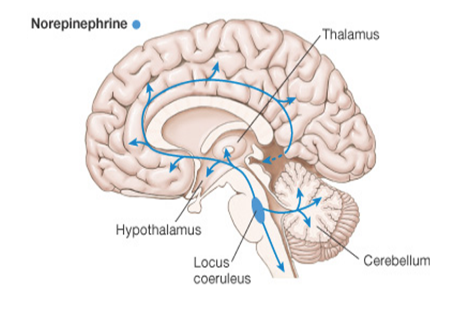Depiction of the broad serotonergic circuit in the human brain