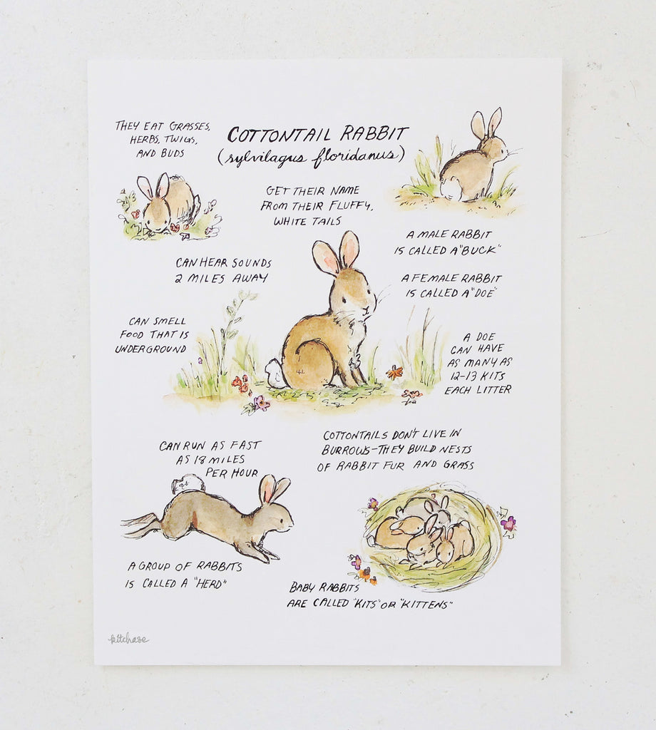 woodland guide cottontail rabbit guide