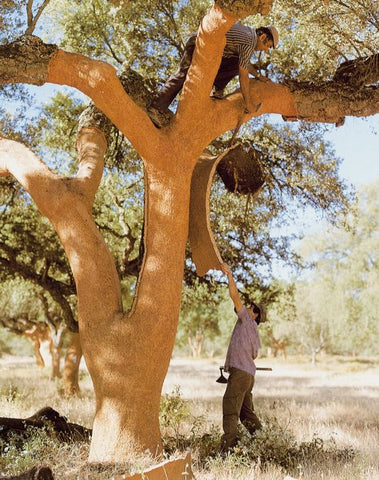 Cork Tree.  Source: Pinterest