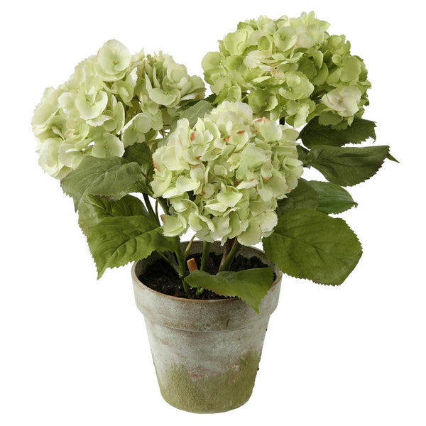HYDRANGEA X3 POTTED 19""