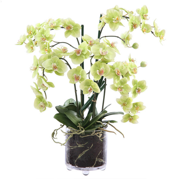 PHALAENOPSIS IN CYLINDER GLASS