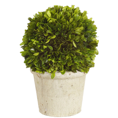 "Preserved Boxwood Topiary In Terra Cotta Pot 12"" Tall"