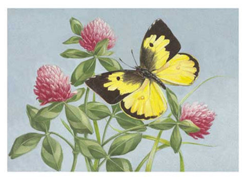 Dogface Butterfly on Red Clover by Jean Zallinger Fine Art Print
