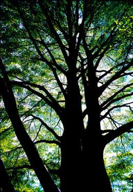 Beech Tree by Tony Passera Fine Art Print