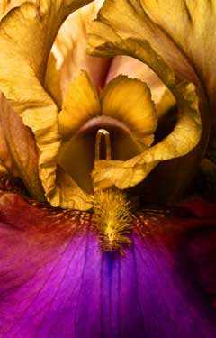 Iris by Tony Passera Fine Art Print