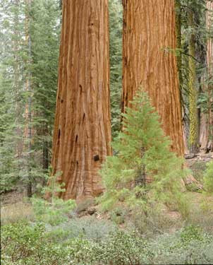 Giant Sequoias by Dennis Flaherty Fine Art Print