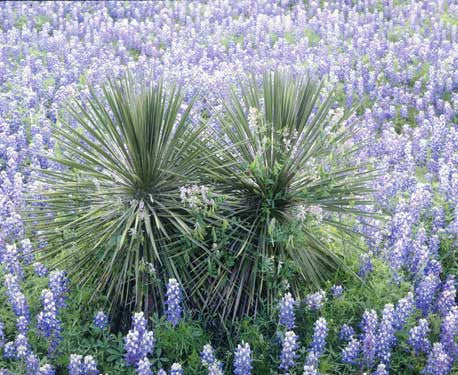 Yucca and Bluebonnets by Dennis Flaherty Fine Art Print