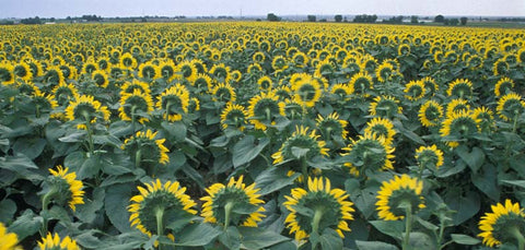 Field of Sunflowers Fine Art Print
