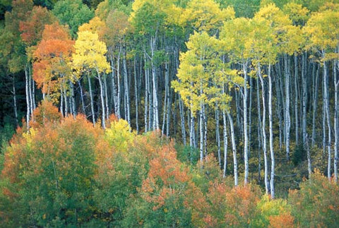 Aspen Colors Fine Art Print