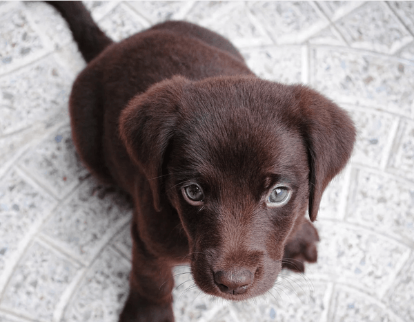 Dog Breed Guide: Labradors