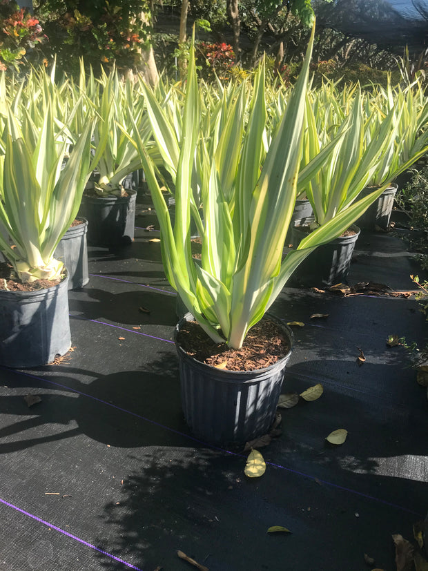 Agave Yellow Ribbons