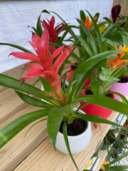 "Mini Bromeliad Assorted Colors (2.5"" Pot)"