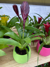 "Load image into Gallery viewer, Mini Bromeliad Assorted Colors (2.5"" Pot)"