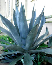 Agave Blue Tequilana