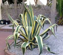 Load image into Gallery viewer, Agave Yellow Ribbons