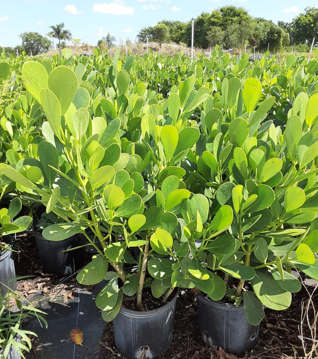Clusia (clucia) High quality healthy plant, beautiful green color