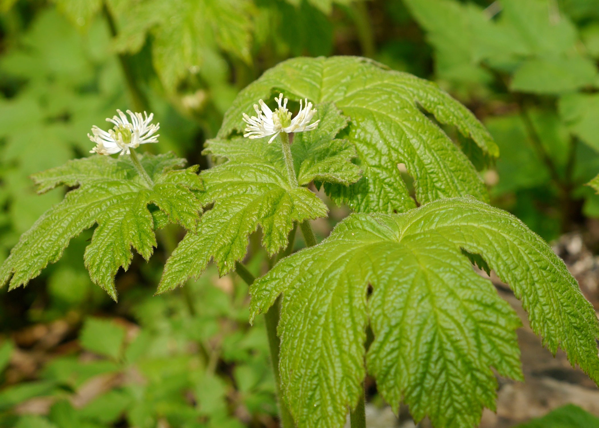 Goldenseal Essential Oil