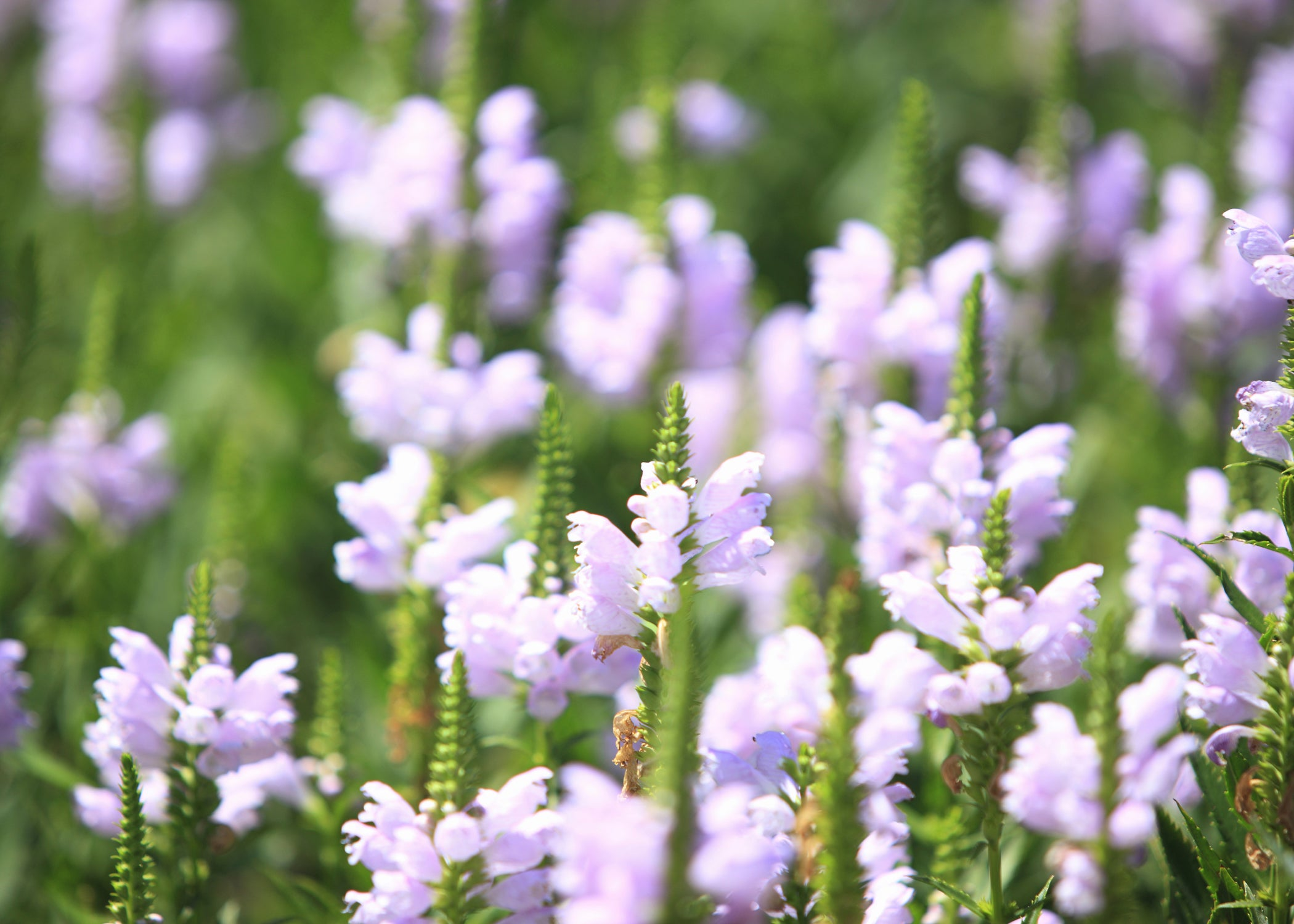 Skullcap Essential Oil