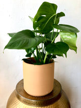"Monstera Potted in 8"" Terracotta Pot"