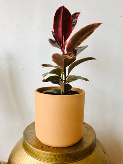 Indian Rubber Potted in Terracotta 8