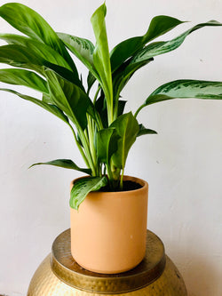 Chinese Evergreen Potted in 8