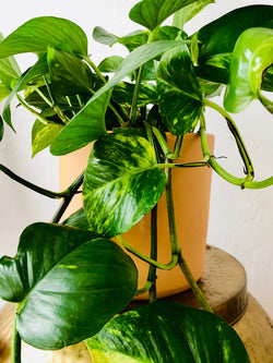 Golden Pothos Potted in 6