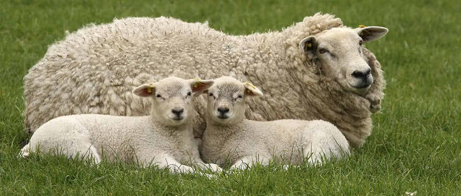 Sheep and lambs on an organic farm