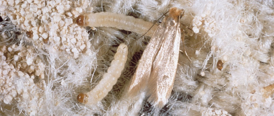 Clothing moths larvae